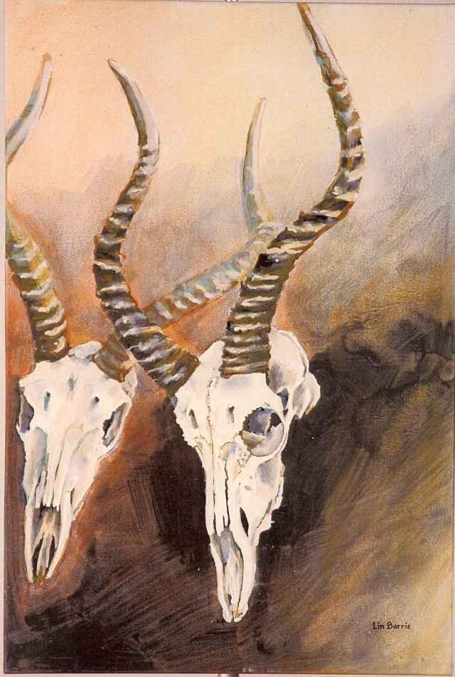 impala skull studies