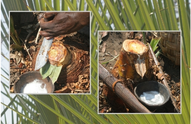 collecting Lala palm sap to make palm wine