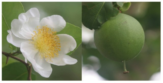 Oncoba spinosa flower and fruit