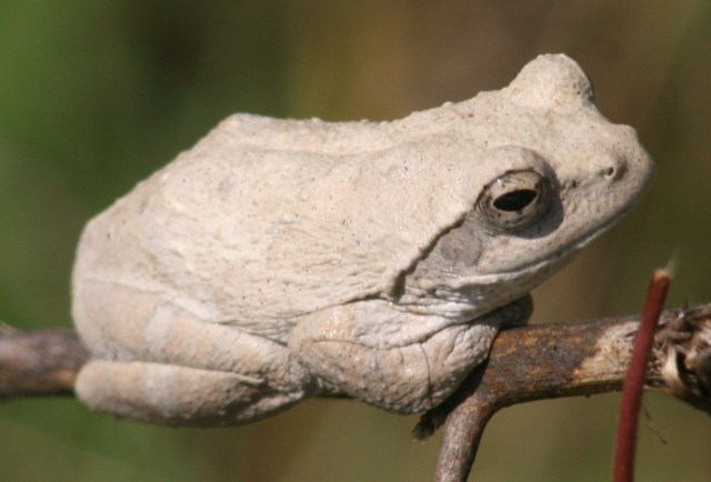 Foam Nest Frog-white phase