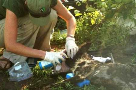 Dr. Rosemary Groom disinfecting the cleaned wound on Eclipse's neck