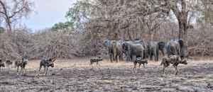 African wild dogs and elephants. lo res