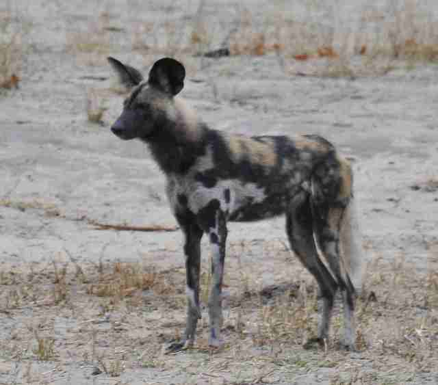 wild dog at Centre pan....