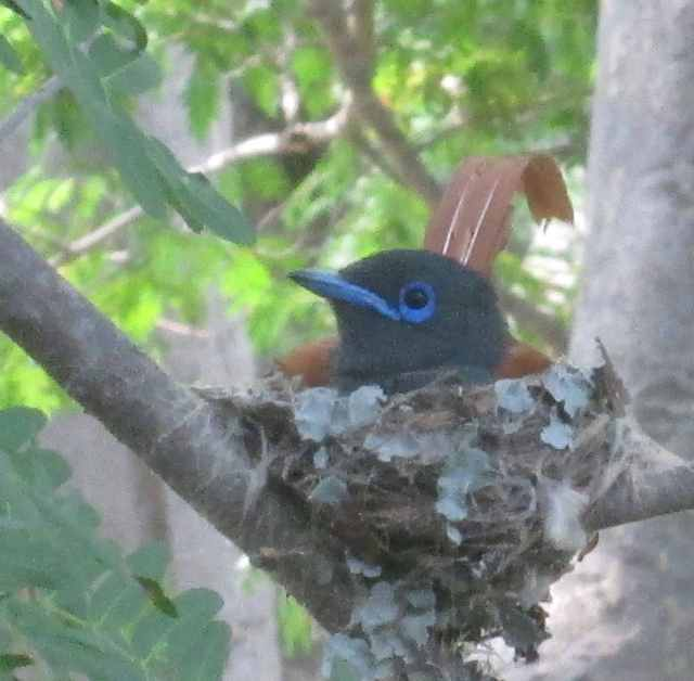Male paradise flycatcher on nest