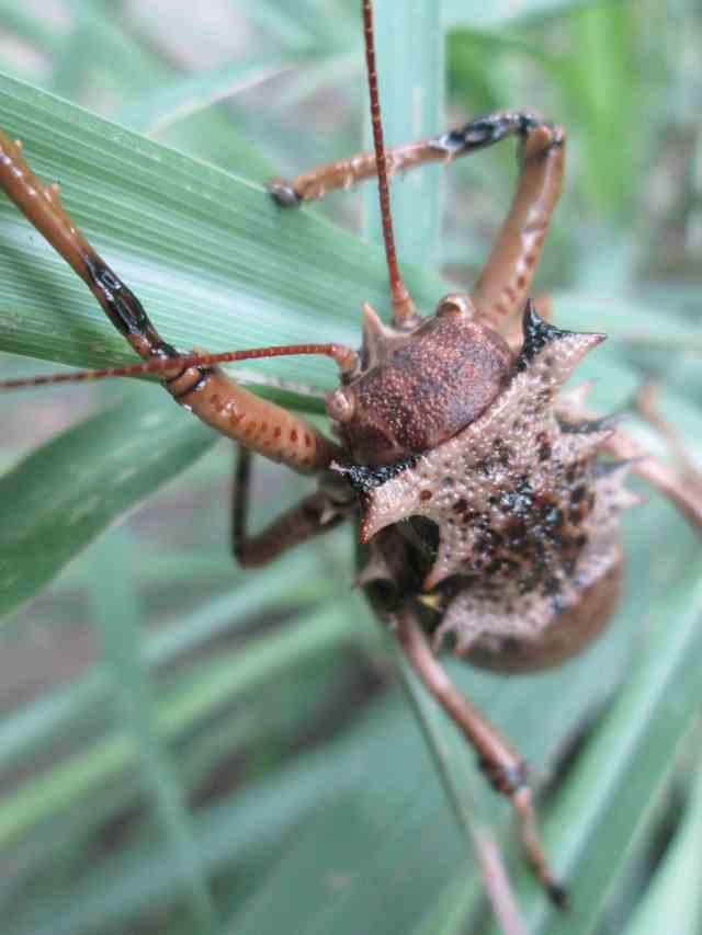 armoured corn cricket
