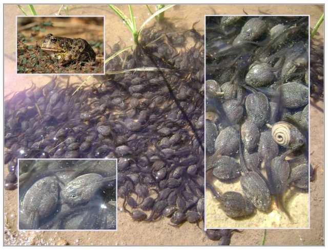bullfrog and tadpoles