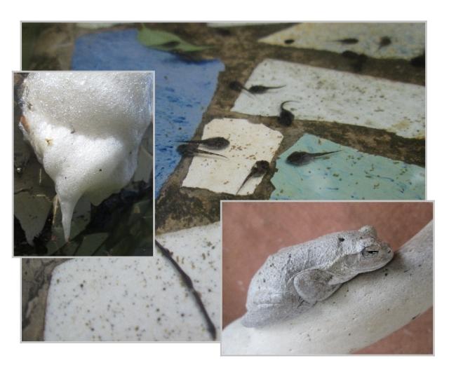 Chiromantis frog, nest, tadpoles