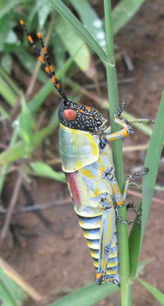 grasshopper elegance