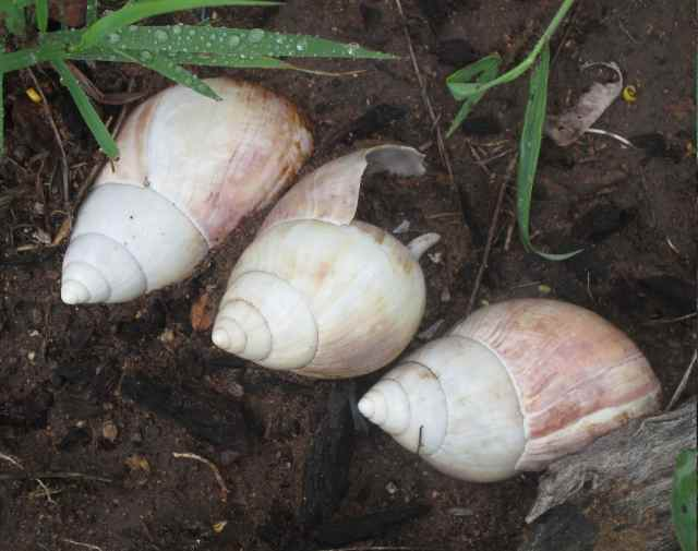 discarded shells of giant african land snail
