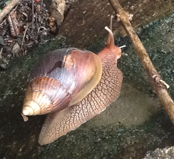 Giant land snail feels its way around a twig..