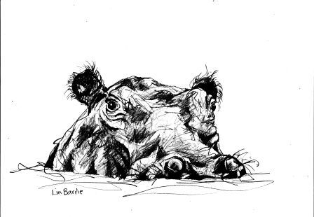 Hippopotamus-  sketch by Lin Barrie