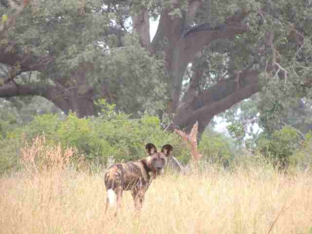 African wild dog in gonarezhou National Park-photographed by Derek Soloman