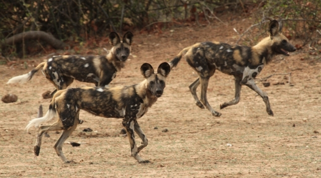 Gonarezhou wild dogs, photograph by the AWCF team, led by Dr. Rosemary Groom.