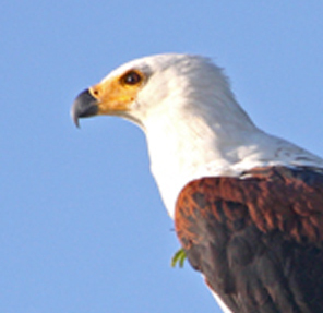 fish eagle by Dave Dell