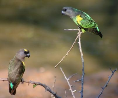 Brown-headed Parrots