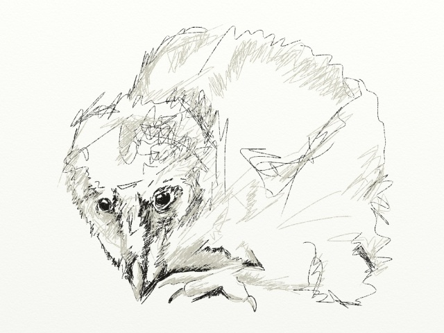 my sketch of a baby barn owl...