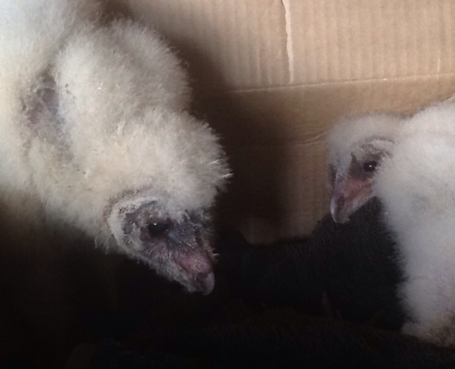 rescued baby barn owls