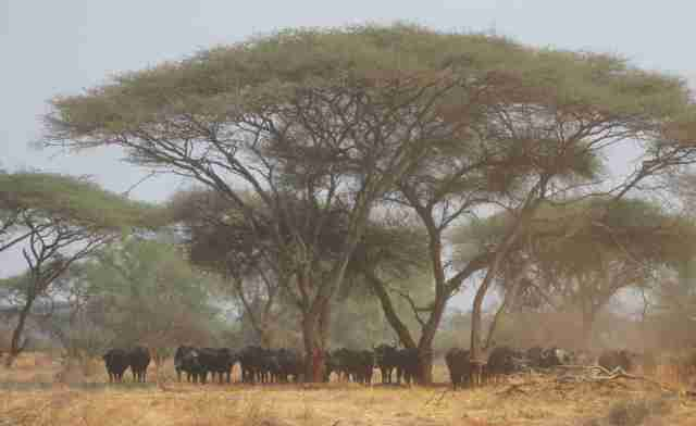 acacias and buffalo