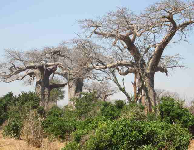 baobab ridge offers multitudes of these trees