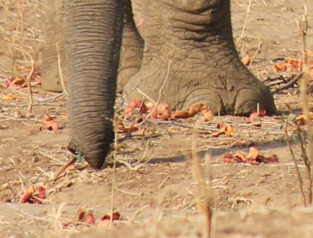 elephant  foot and albida pods