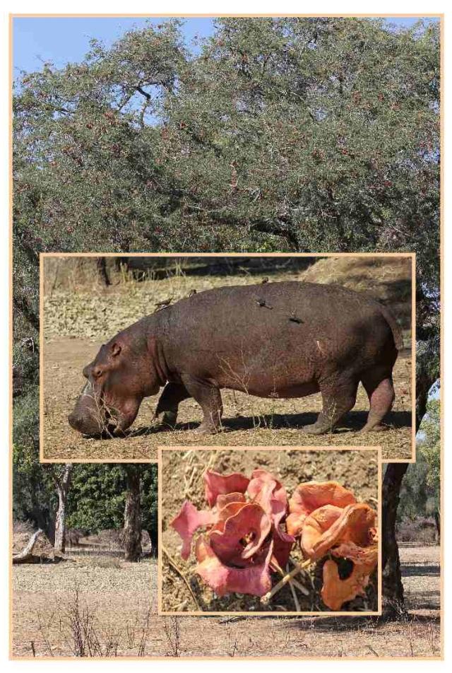 hippo-podamus