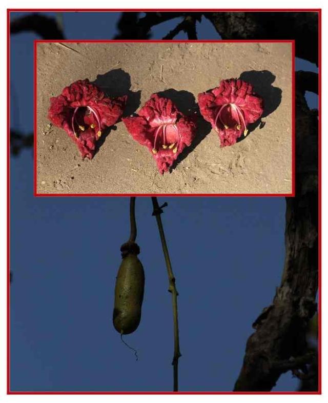 kigelia fruit and flowers