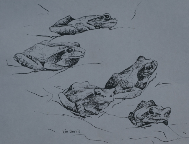 Lin Barrie sketch of Chiromantis tree frogs