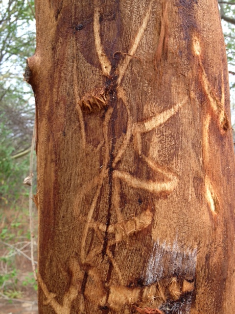 elephant hieroglyphs in the bark of a doomed tree...
