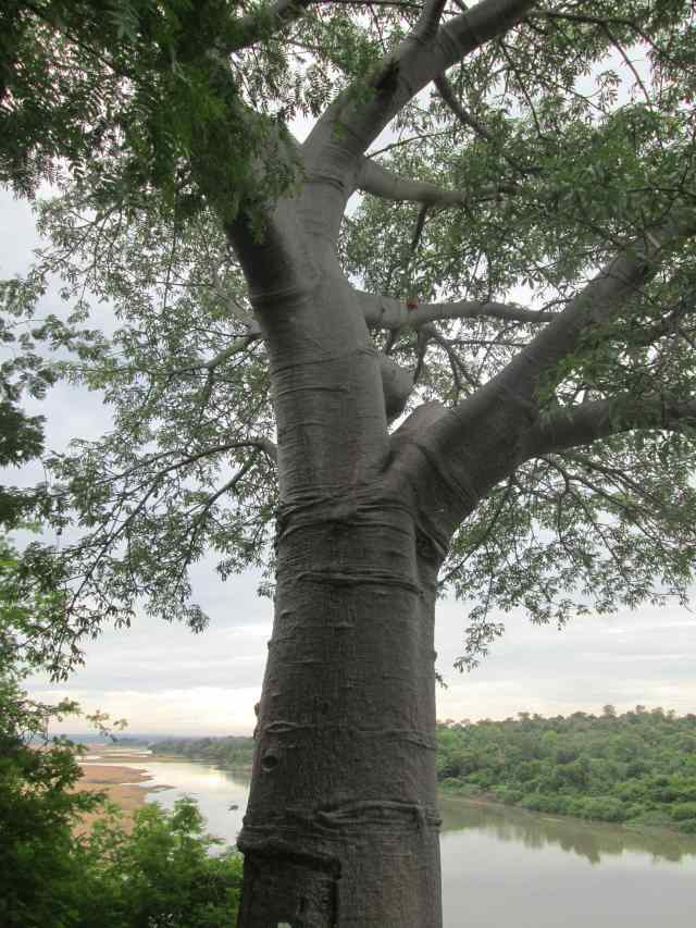 baobab tree and rainy sky