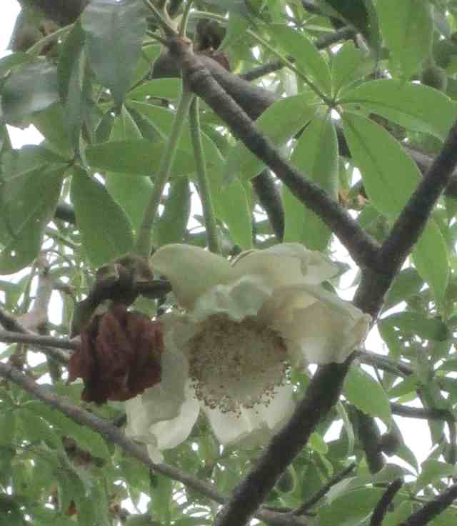 baobab flower on tree