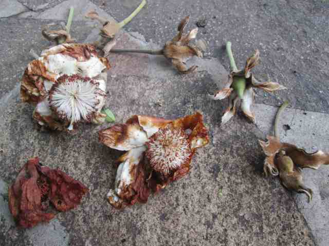 baobab flowers and pods