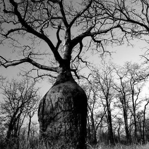 bottle baobab on senuko ranch
