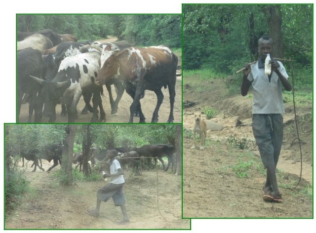 cattle herder and his Nguni cattle...