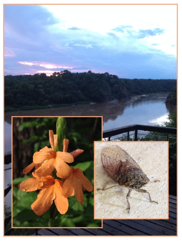chilo in the wet season-Crossandra and a funky cicada...