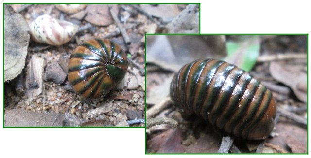fat millipede and hitchhikers...
