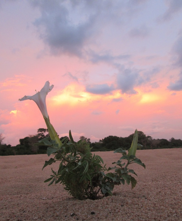 Datura flower on the beach of the Save River..