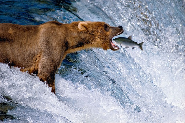 Catch of the Day-An Alaskan brown bear perfectly positions himself above Brooks Falls to catch a leaping salmon.