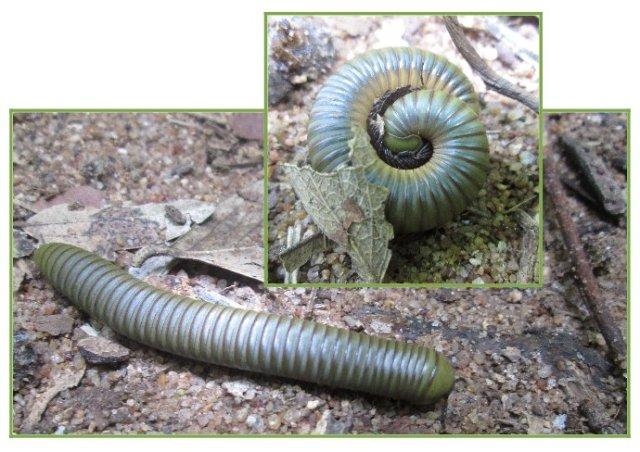 gorgeous green millipede