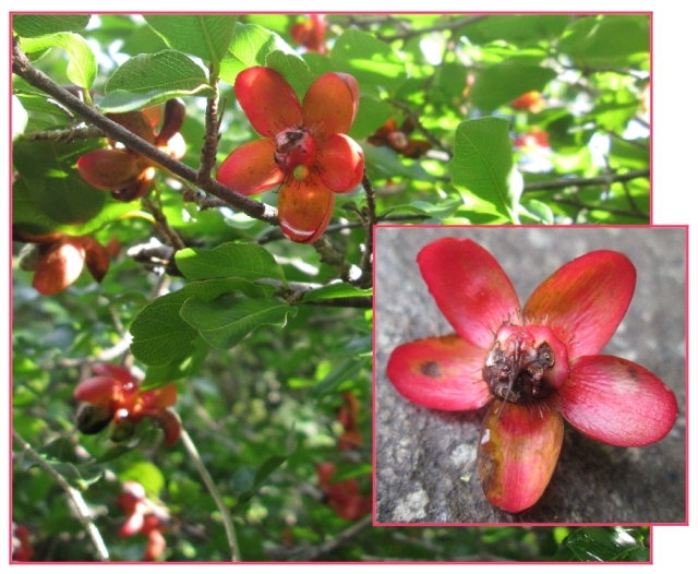 Ochna inermis-red summer beauty