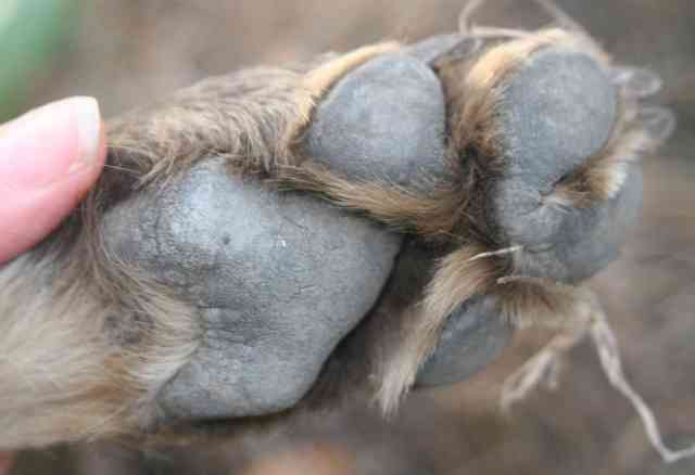 Snare's gorgeous paw