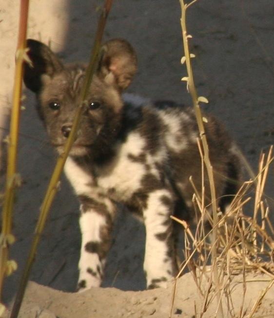 Wild dog pup at den