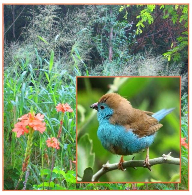 Blue waxbill grass....!
