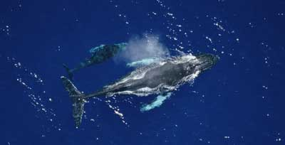 mother and calf humpback