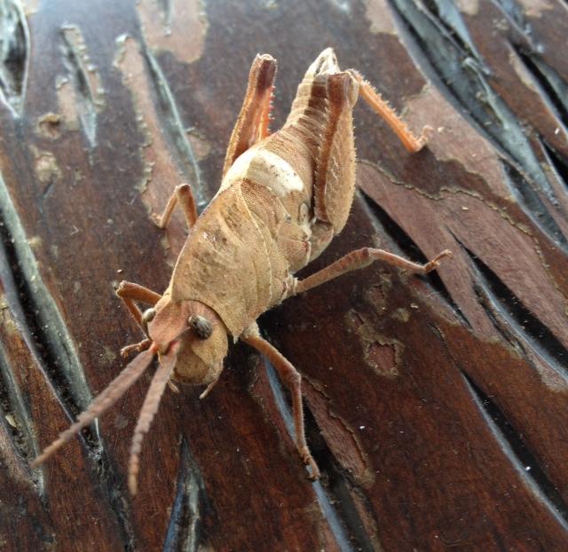 rhino chameleon grasshopper