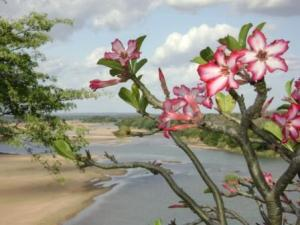 Adenium multiflorum blooming at Chilo, Save River in background...
