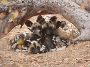 Wild dog pups..photo by AWCF