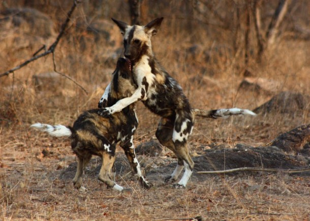wilddogs_pups-at-play-610x435