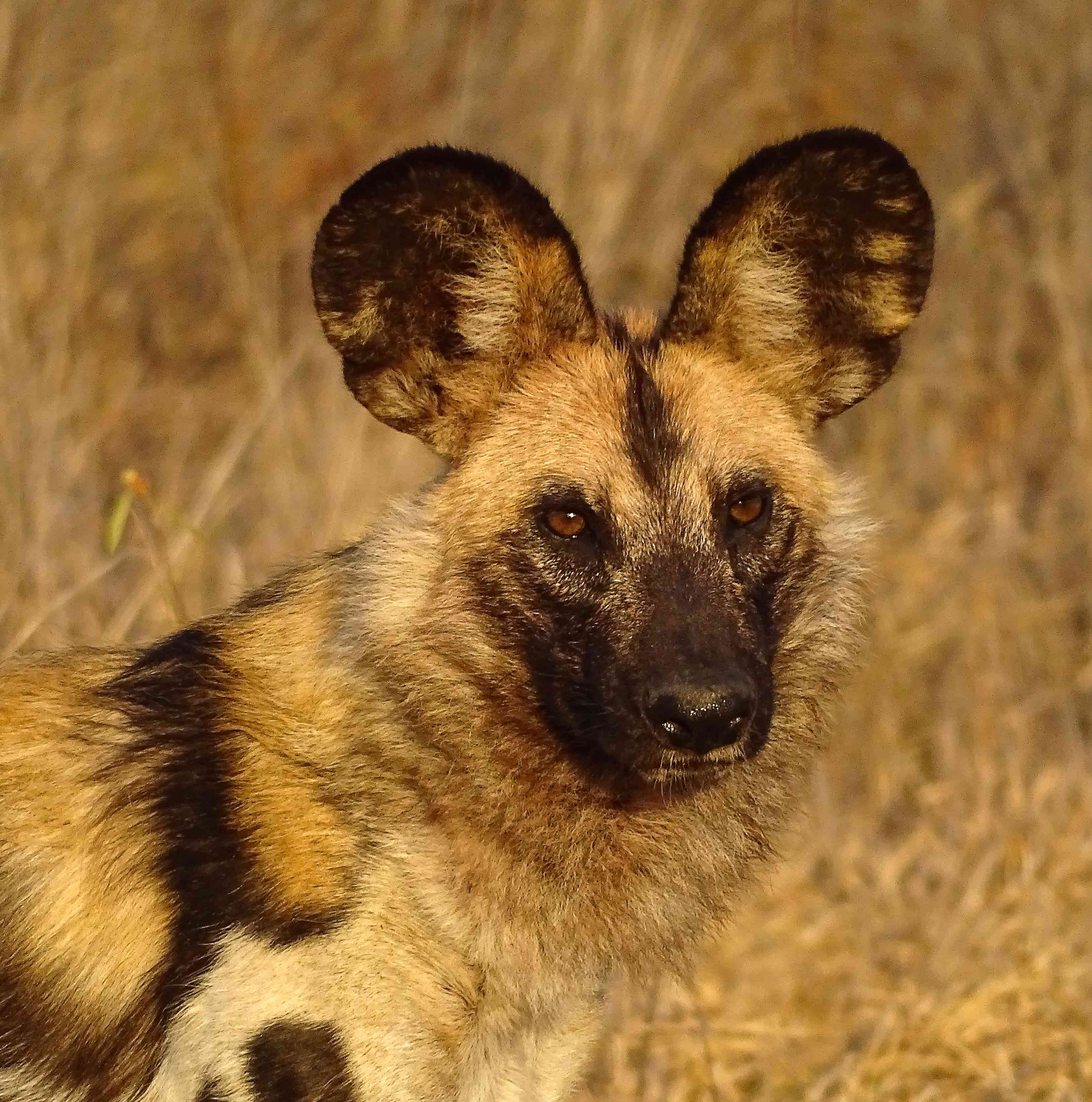 Can We Still Hunt African Wild Dogs