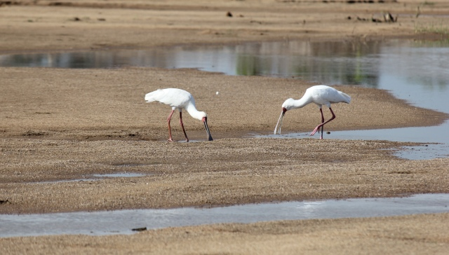 Spoonbills hunting for breakfast