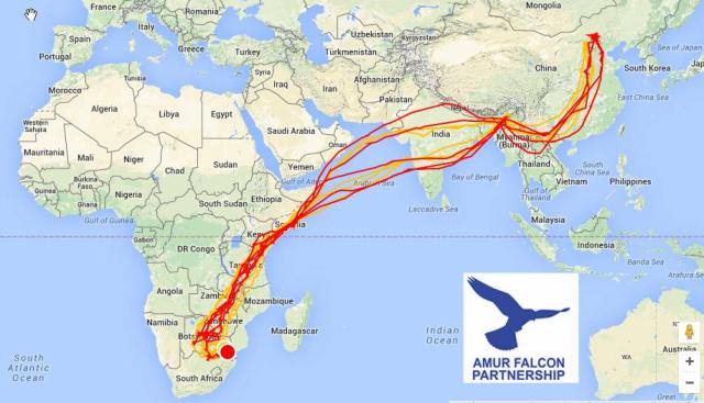 amur migration route